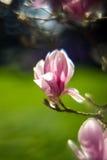 Fleur de magnolia - fond trouble Image stock