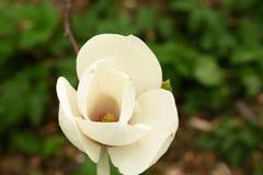 Fleur de magnolia de la fin blanche  photographie stock