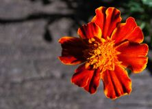 Fleur de maman Images stock