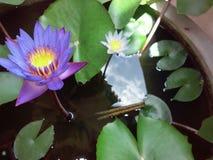 Fleur de Manel Photographie stock libre de droits