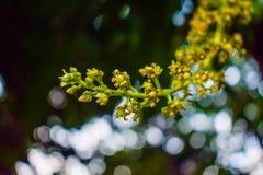 Fleur de mangue images stock