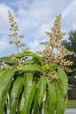 Fleur de mangue Photos libres de droits