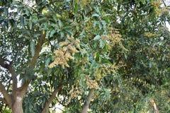 Fleur de mangue Photo stock