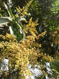 Fleur de mangue Photographie stock