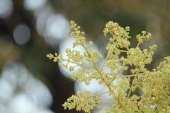 Fleur de mangue photographie stock libre de droits