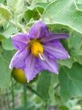 Fleur de Maokkri images stock