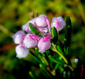 Fleur de marais Photos libres de droits