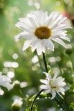 Fleur de marguerite Photographie stock libre de droits