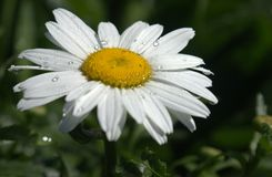 Fleur de marguerite Photos libres de droits