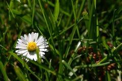 Fleur de marguerite Photo libre de droits