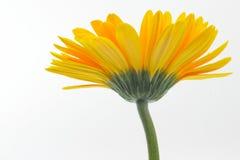 Fleur de marguerite Image stock
