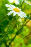 Fleur de marguerite Photos stock