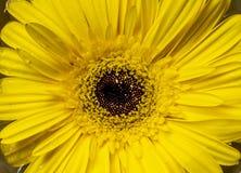 Fleur de marguerite de Barberton images libres de droits