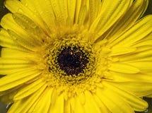Fleur de marguerite de Barberton image libre de droits