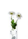 Fleur de marguerite blanche image libre de droits