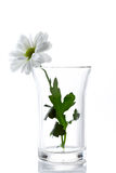 Fleur de marguerite blanche Images stock