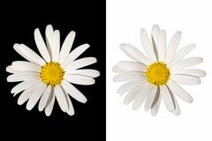 Fleur de marguerite blanche sur le fond d'isolement Photos stock