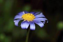 Fleur de marguerite bleue Photos stock