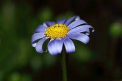 Fleur de marguerite bleue de Felicia Images stock