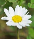 Fleur de marguerite commune Photographie stock