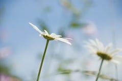 Fleur de marguerite contre le ciel bleu Photo libre de droits
