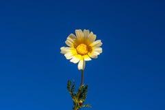 Fleur de marguerite contre un ciel bleu profond Image libre de droits