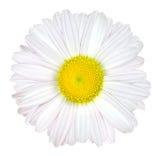 Fleur de marguerite d'isolement - blanc avec le centre jaune Images libres de droits
