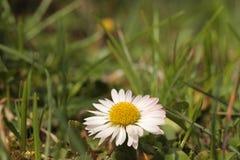 Fleur de marguerite dans l'herbe Photographie stock libre de droits