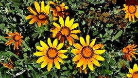 Fleur de marguerite dans un jardin Images stock