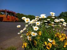 Fleur de marguerite de marguerite des prés en parc de bord de la mer de Hitachi, Japon photographie stock libre de droits