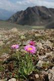 Fleur de marguerite en hautes montagnes Photo libre de droits