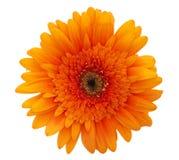 Fleur de marguerite orange Photo stock