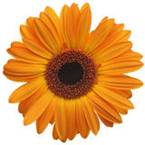 Fleur de marguerite orange Photo libre de droits