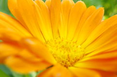 Fleur de marguerite orange Photo stock