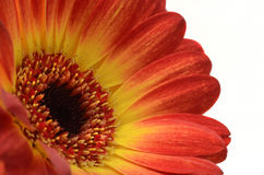 Fleur de marguerite rouge et orange Image stock