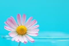 Fleur de marguerite sur le fond de turquoise photos libres de droits