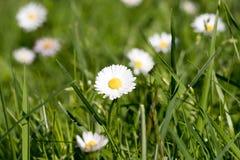 Fleur de marguerite sur un pré d'herbe Images stock