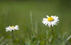 Fleur de marguerites Photos stock