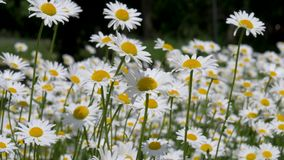 Fleur de marguerites en The Field en été banque de vidéos