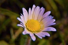 Fleur de marguerites sur un fond d'herbe Photos stock