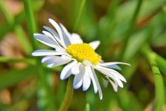 Fleur de marguerites sur un fond d'herbe Photo libre de droits