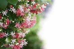 fleur rose de marin de drunen ou de plante grimpante de rangoon