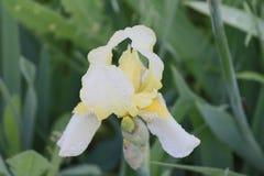 Fleur de matin - comme image intime d'une femme images libres de droits