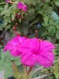 Fleur de Matin-soirée d'image Photo libre de droits