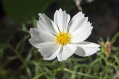 Fleur de Matricaria Photo stock