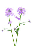 Fleur de matronalis du ` s Rocket Hesperis de dame Photo stock