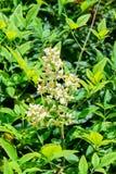 Fleur de mauvaise herbe Image libre de droits