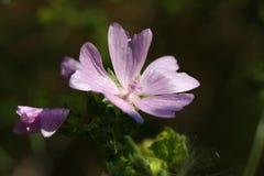 Fleur de mauve Image libre de droits