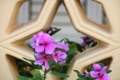 Fleur de mauve avec le fond de trellis d'étoile images libres de droits