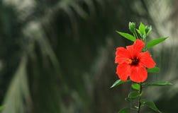 Fleur de mauve sur le fond foncé photo libre de droits